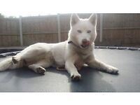 Husky 12 Months Old, Pure White, Blue Eyes, Very Rare