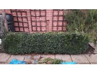 Box (Buxus sempervirens) hedging 70cm tall, established and very healthy