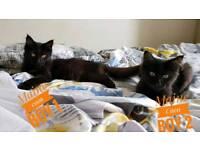 2Maine Coon kittens boy Black