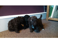 Gorgeous F1 b poochon puppies for sale