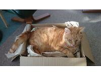 Mitcham Lost Ginger Cat
