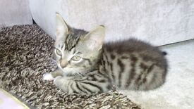 Beautiful Tabby Male Kitten