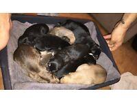 Husky x bull mastiff puppies born 24/06/17 will be ready to leave 19/8/17