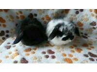 Pedigree mini lop baby rabbits