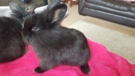 Very cute black lion head rabbits looking for a loving home. £25 each