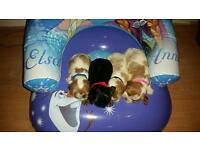 Cavalier king charles puppies only 3 girls left