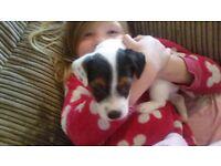 Jack russell pups miniture