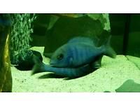 6 blue (dolphin) moori