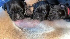 2 CANE CORSO X PUPPIES AVAILABLE NOW