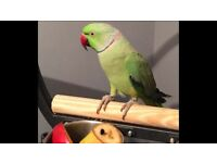 Beautiful Male Indian Ringneck talking Parrot Only £150
