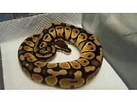 CB16 Pastel het Green Ghost Royal Python