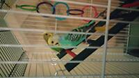 Green and Blue parakeetes