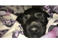 Patterdale x jack Russell