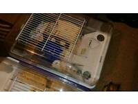 Roveroskis hamsters 2 for sale.