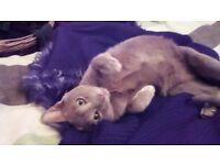 Siamese Oriental lilac boy kitten