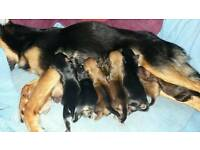 Beautiful Pomeranian x Chihuahua puppies for sale