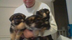 Only 1 german sheppard puppy boy left for sale so be quick