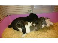 Sister lionhead lop rabbits