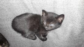 Kitten x 1