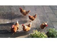 5 chickens