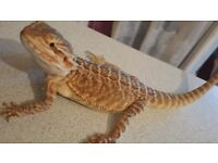 Bearded dragon leather bk 4 months old 🦎🦎