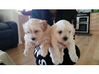 4 Beautiful Shichon puppies ( Shih tzu x Bichon frise )