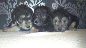 Stunning kc bedlington puppies