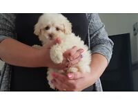 Beutiful F1 poochon puppies only 1 girl left REDUCED