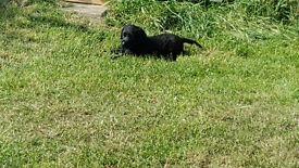 Labrador X Chesepeake Bay Retriever Puppies