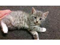 beautiful grey half british short hair kittens