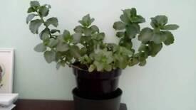 Large Kalanchoe indoor flowering pot plant.