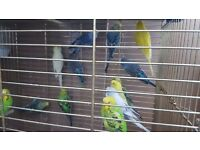 Beautiful budgie's for sale