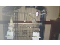 Selling 2 cockatiels. Sex unknown. Aprox 4/5 months old. Selling due to work committments