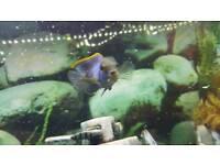 Blue Acara tropical fish