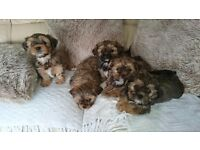 Shorkie puppys for sale (400£ ono)