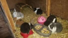 baby lop ear rabbits