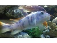 Ob zebra Malawi tropical fish
