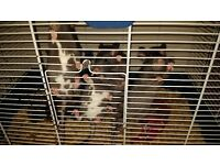Pet Ratties