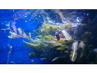 Caulerpa Taxifoliaalgae remove phosphates nitrates marine sump
