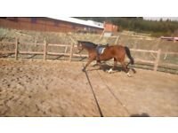 Beautiful gentle Thoroughbred mare. Ideal hacking/showing.
