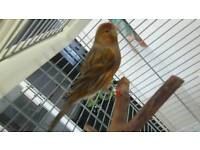 Spanish timbrado canary with cage
