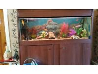 Fish tank and all with fish all on show for sale £ 130 ovno
