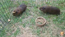 Guinnea pigs