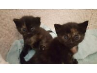Two tortie kittens looking for forever homes