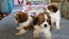 Tibalier puppies for sale