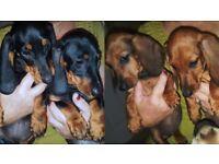 PEDIGREE Miniature Dachshund Puppies