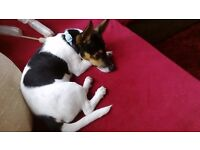 For sale jack russel girl 1 year old
