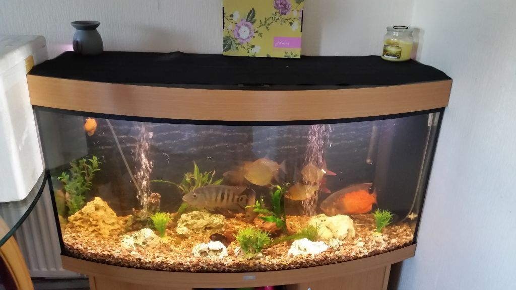 4ft fish tank juwel vision 260 bow front in buxton. Black Bedroom Furniture Sets. Home Design Ideas