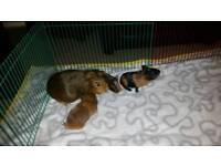 2x guinea pig baby girls