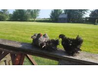 Pekin bantam growers, frizzle and plain, hens, chickens,